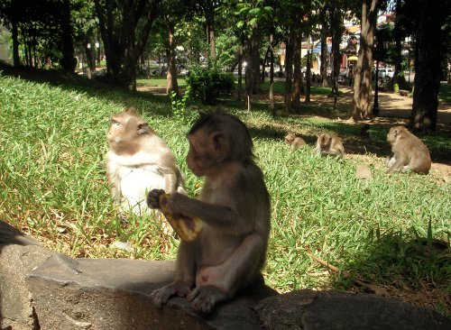 我们在喂寺庙里的猴子香蕉